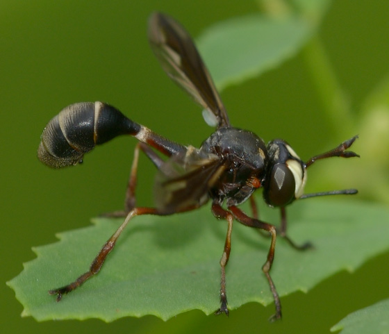P. furcillata or marginata? - Physocephala furcillata