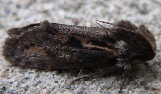 Clemens' Grass Tubeworm Moth - Acrolophus popeanella
