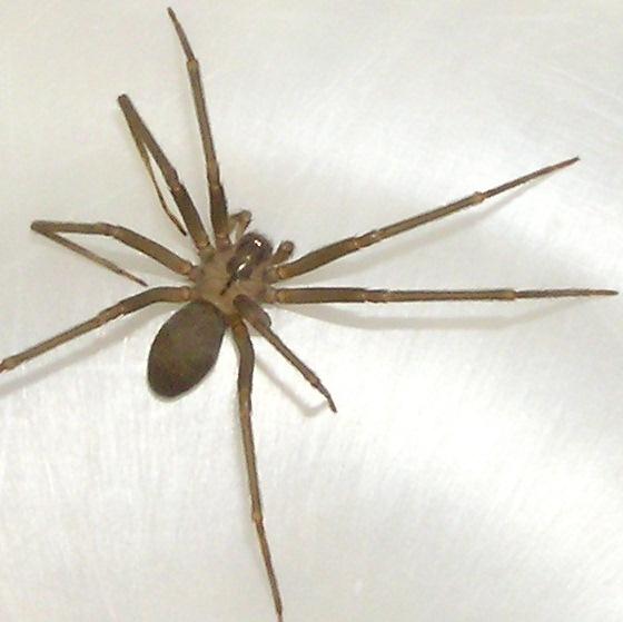 Resource Room Spider - Loxosceles reclusa - male