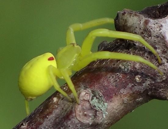 crab spider - Misumena vatia - female