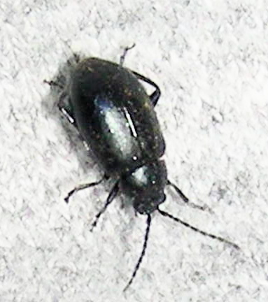 Small Black Beetle   Altica. Small Black Beetle   Altica   BugGuide Net