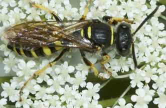 5012598 wasp - Aphilanthops frigidus