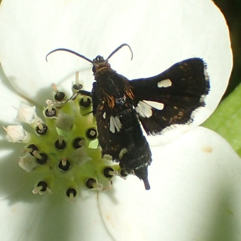 Sesiidae ??? - Thyris maculata