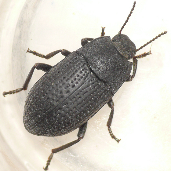 Darkling beetle size - photo#14