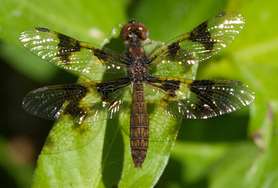 small dragonfly - Perithemis tenera - female