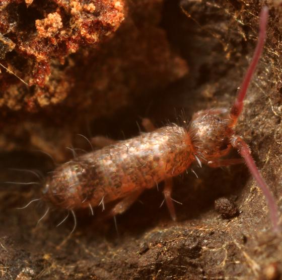 springtail - Tomocerus minor