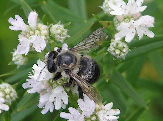 Megachile? - Megachile gemula - female