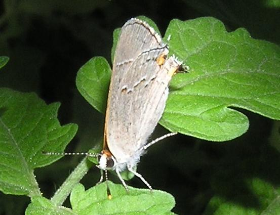 Gray? Hairstreak - Strymon melinus - female