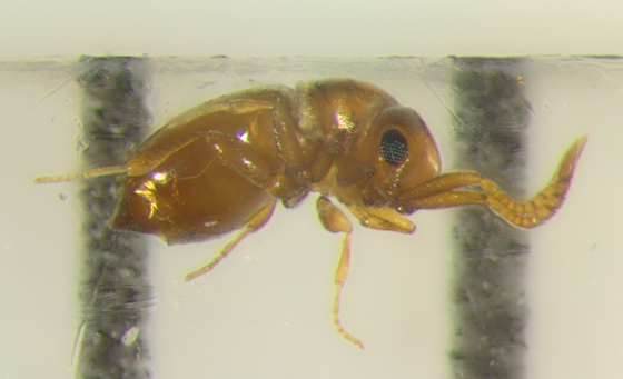 Hymenoptera, Ceraphronidae - lateral - Lagynodes - female