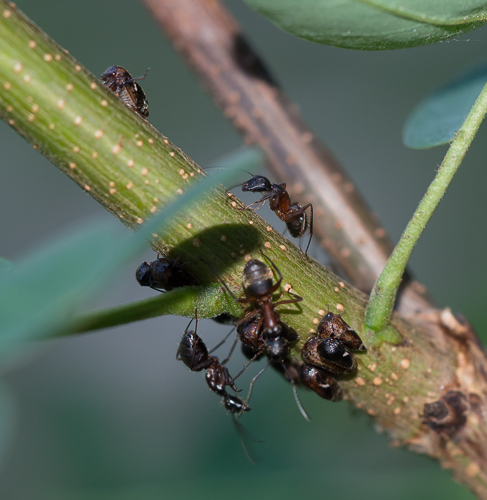 ants and membracids