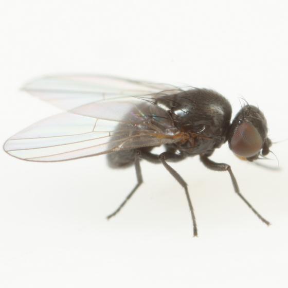 Ophiomyia mimuli - male