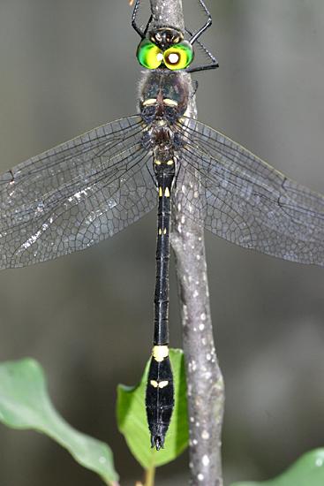 Illinois River Cruiser - Macromia illinoiensis - male