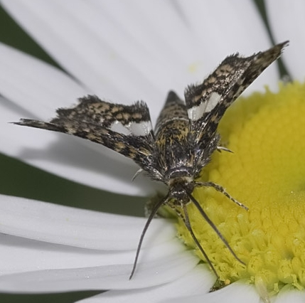 unknown insect - Thyris maculata