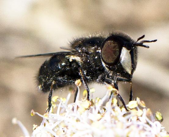 flower fly - Copestylum? - Copestylum lentum