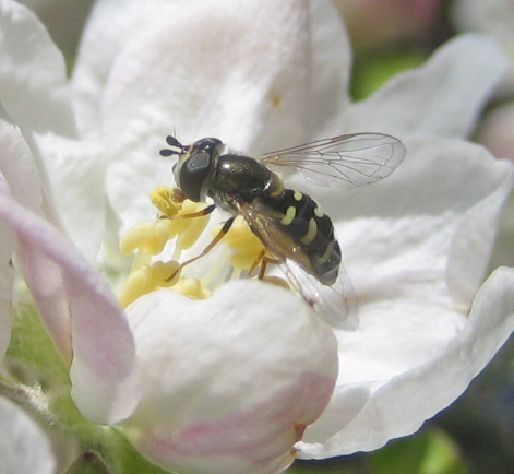 Micro bee or Hover fly? - Eupeodes volucris