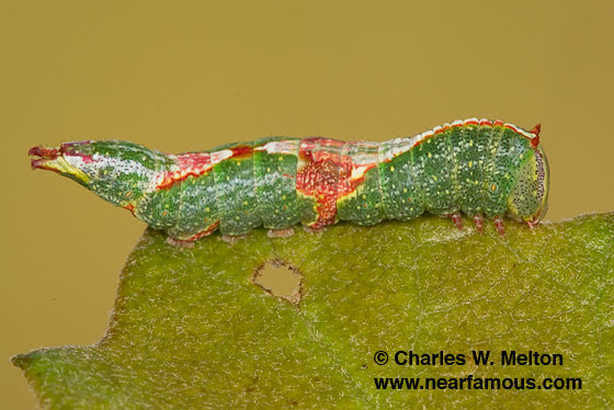 Larva Day 22 - Heterocampa lunata