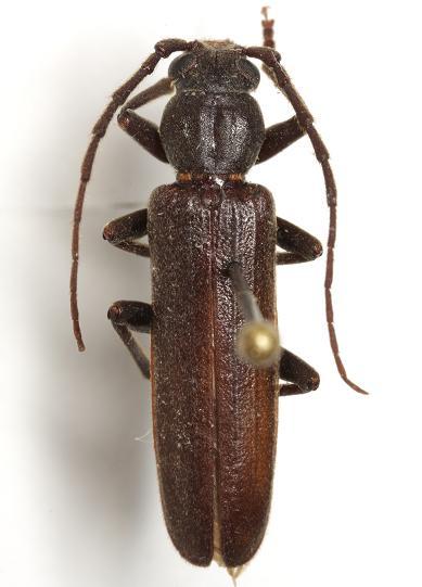 Arhopalus rusticus montanus (LeConte) - Arhopalus rusticus