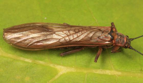 stonefly - Taenionema atlanticum