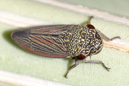 Leafhopper - Cuerna