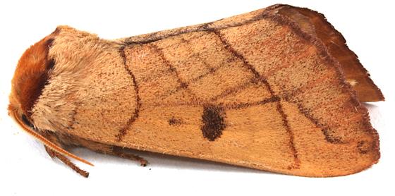 Moth to blacklight - Datana perspicua