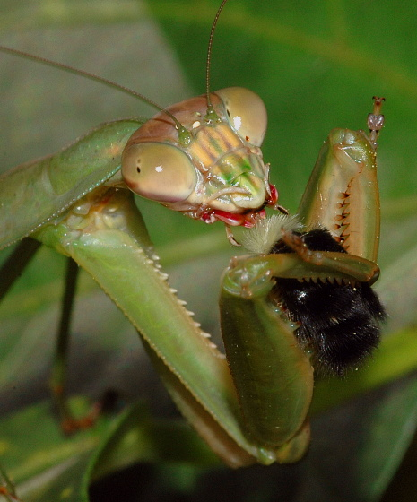 Mantid with prey - Tenodera sinensis - female