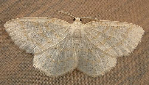 1183 Cabera erythemaria - Yellow-dusted Cream 6677 - Cabera erythemaria - male