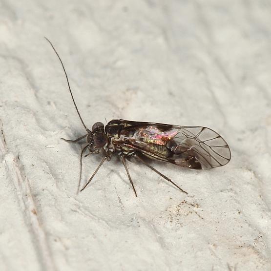 Barklouse - Indiopsocus bisignatus - male