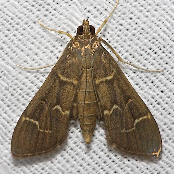 Scraped Pilocrocis - Hodges#5281 - Pilocrocis ramentalis
