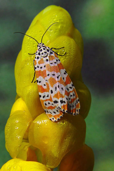 Also known as the Rattlebox Moth - Utetheisa ornatrix