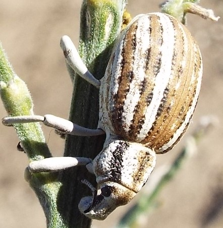 Is this a species of brod-nosed weevil? - Ophryastes