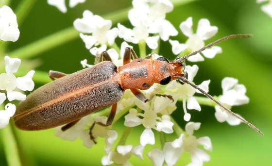 Soldier Beetle - Oxacis trimaculata