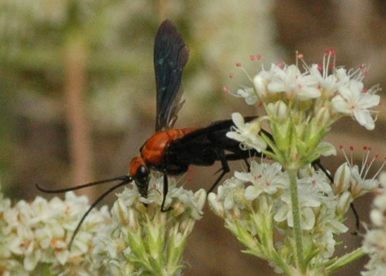 Black and red wasp - Notocyphus dorsalis