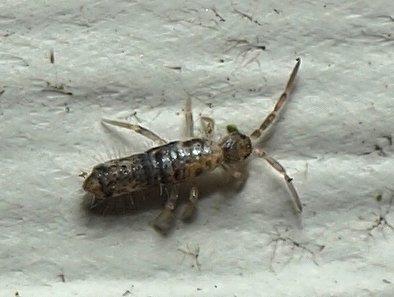 Springtail - Seira bipunctata