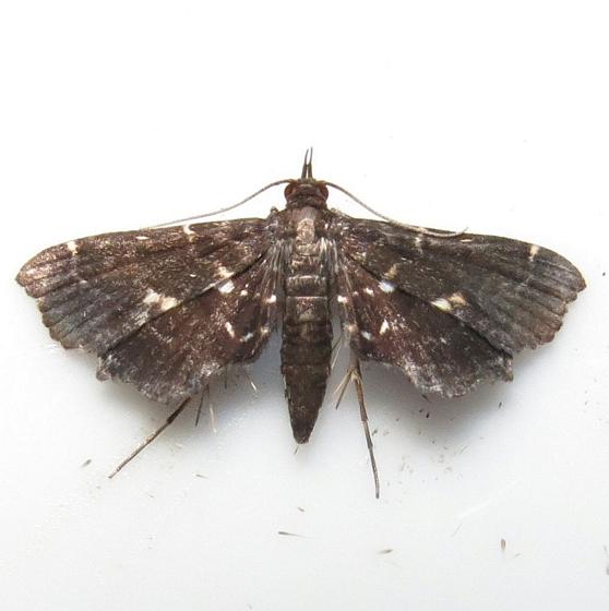 Hodges #4741 - Leatherleaf Fern Borer Moth - Undulambia polystichalis