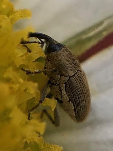 A very tardy weevil - Geraeus picumnus