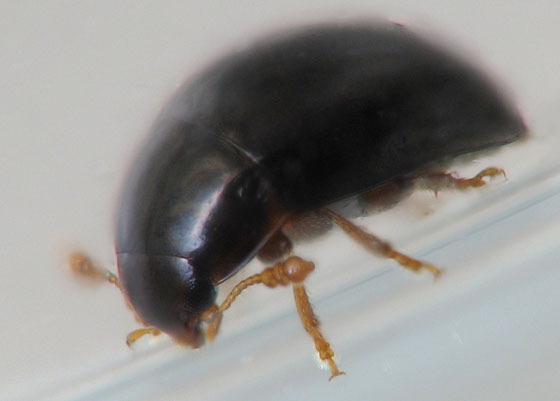 Tiny Shiny Black Beetles   Olibrus. Tiny Shiny Black Beetles   Olibrus   BugGuide Net