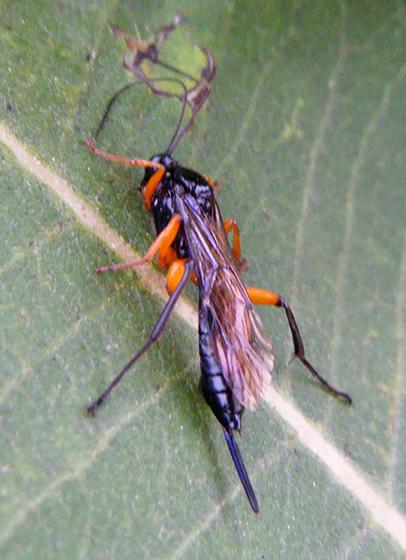 Shiny black wasp with orange legs - Pimpla pedalis - female