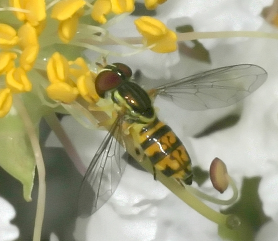 Hover 78 - Toxomerus geminatus