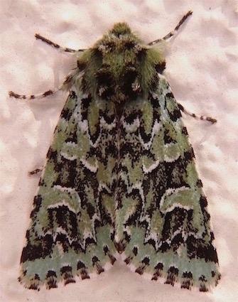 Comstock's Sallow Moth - Feralia comstocki