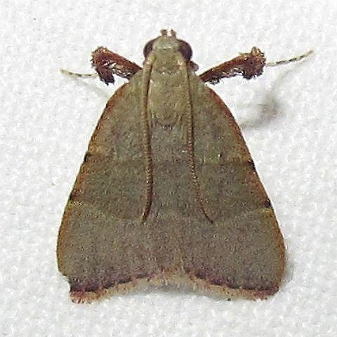 Hodges #5568 - Arta olivalis?  - Basacallis tarachodes