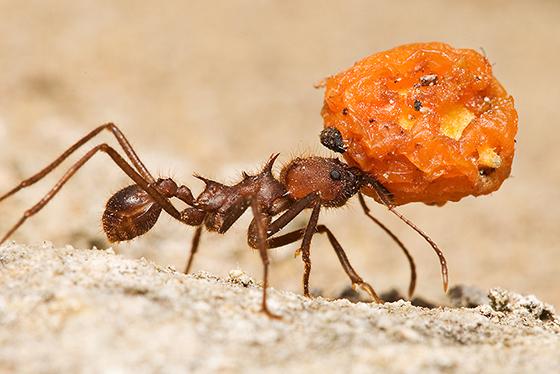 Texas Leaf-Cutting Ant - Atta texana - female