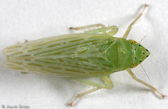 leafhopper - Pagaronia confusa