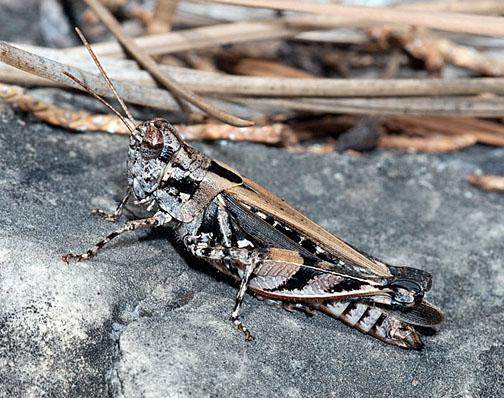 Dichroplus notatus - female