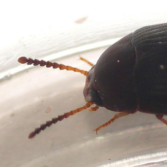 Darkling beetle - Platydema erythrocerum