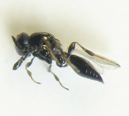 Parasitic wasps in goldenrod bunch gall - Platygaster - female