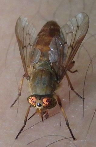 Deer or Horse fly? - Silvius gigantulus