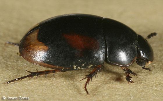 horse droppings beetle - Sphaeridium scarabaeoides