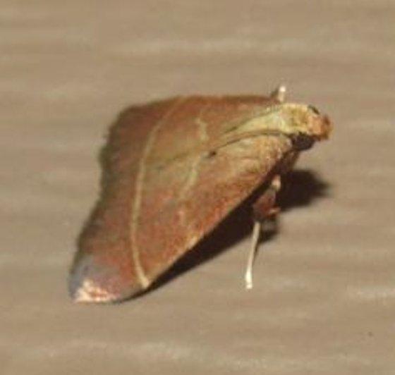 Posturing Arta Moth - Hodges#5566 - Arta statalis