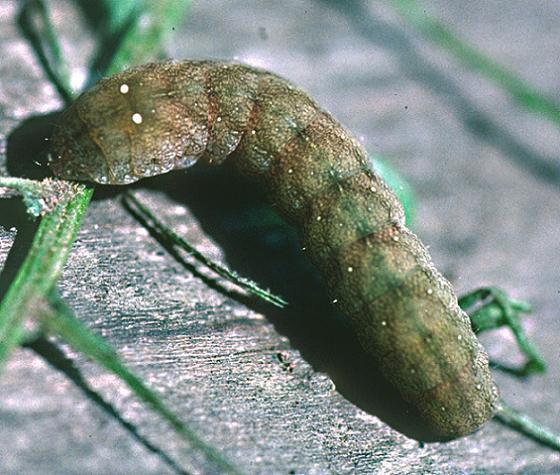 American Angle Shades Larva - Euplexia benesimilis