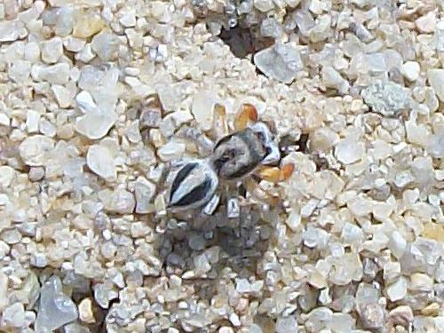 Jumping Spider - Habronattus icenoglei